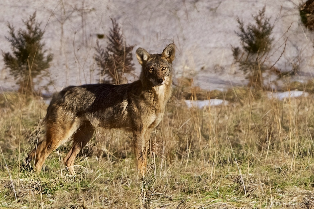 The Beautiful Valley Forge Coyote - ID: 15339785 © Kitty R. Kono