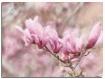 magnolias - Impas...