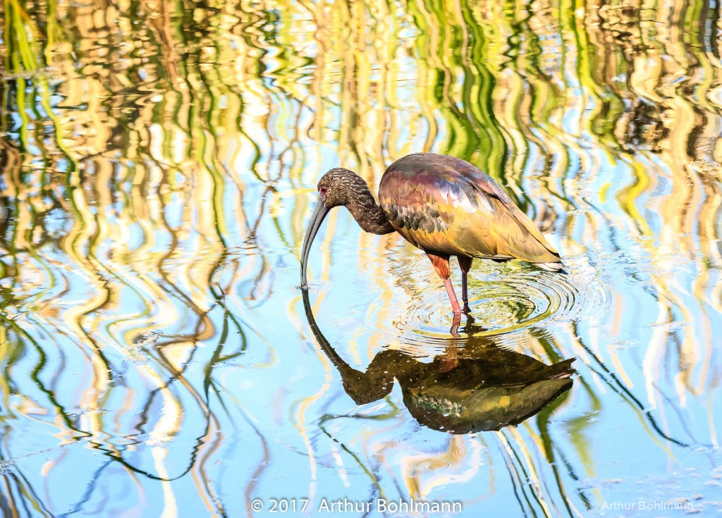 Reflection of Ibis