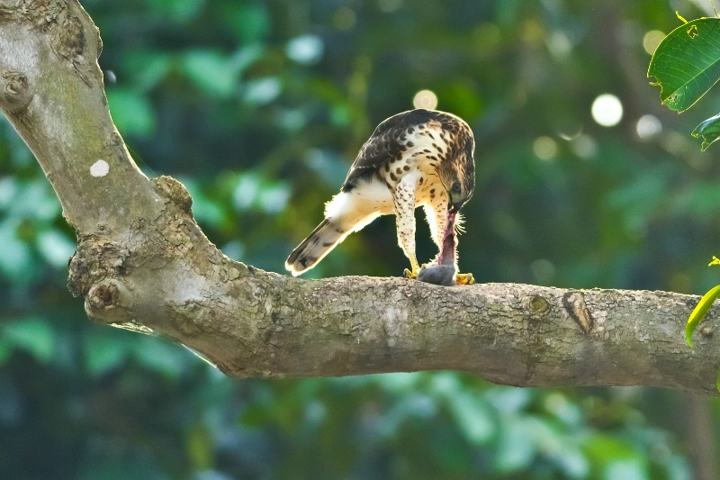 Juvenile gohawk breakfast
