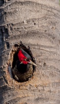 A lineated woodpecker