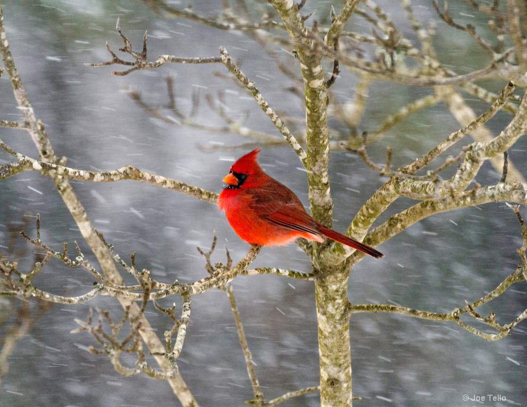 Redbird in Snow - ID: 15343830 © Joe Tello