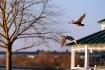Ducks Fly By