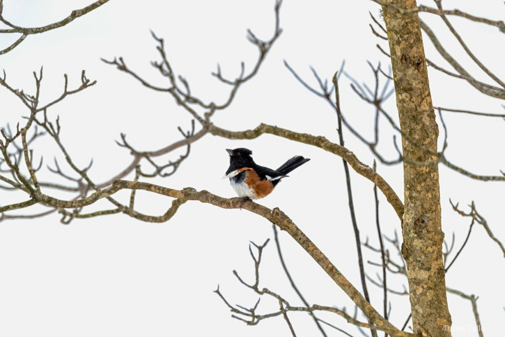 Towee - ID: 15343835 © Joe Tello