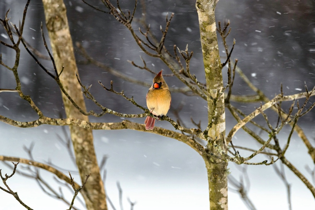 Cardinal in Snow - ID: 15343843 © Joe Tello
