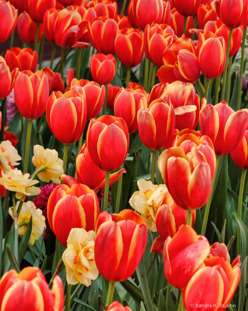 Tulips on Fire 2 - ID: 15344556 © Sandra K. StJohn
