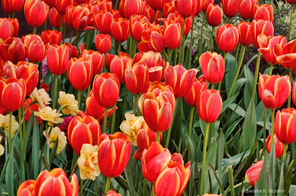 Tulips on Fire - ID: 15344557 © Sandra K. StJohn