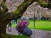 UW Cherry Blossom...