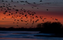 silhouette sandhill cranes coming in to roost