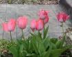 Pink Tulips cropp...