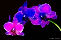 Neon Orchids