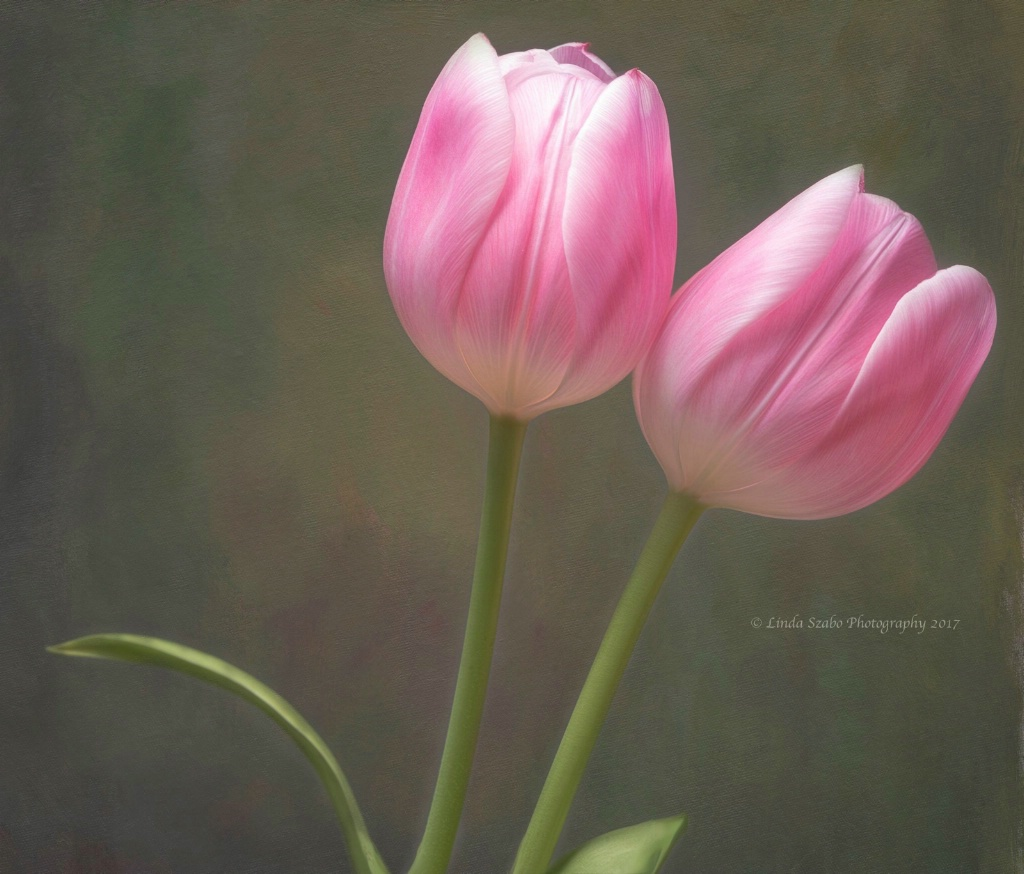 Pair of Pink Tulips