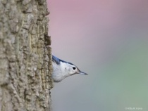Eye Contact with the Nuthatch