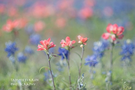 ~~  Okie and Texas Wildflowers  ~~