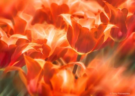 Tulips Ablaze