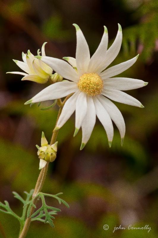 A Flannel Flower