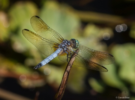 Dragonfly in the AM