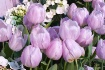 Tulips Galore--an...