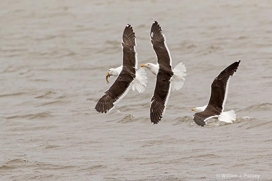 Kelp Gull  Food Fight H2U2620 - ID: 15356415 © William J. Pohley