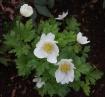 Anemone Hybrid
