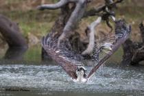Osprey butterfly stroke