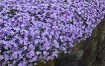Creeping Phlox Do...