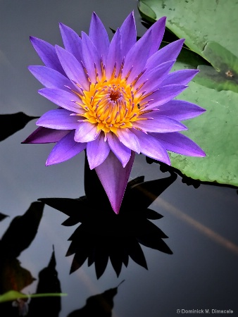 ~ ~ WATER LILY ~ ~