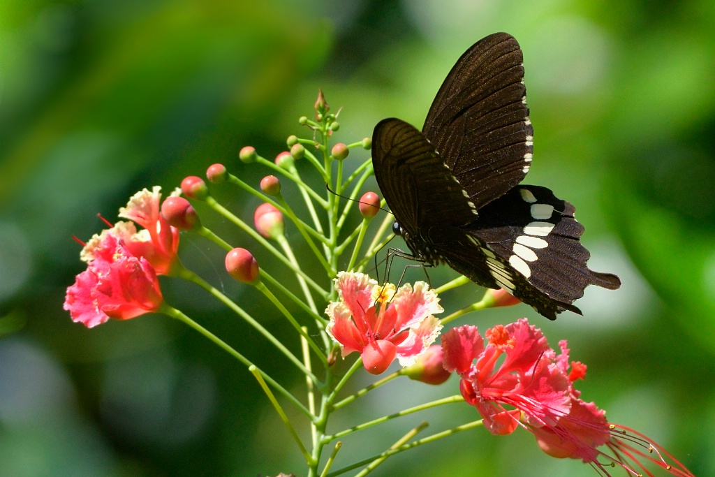 Common Marmon butterfly