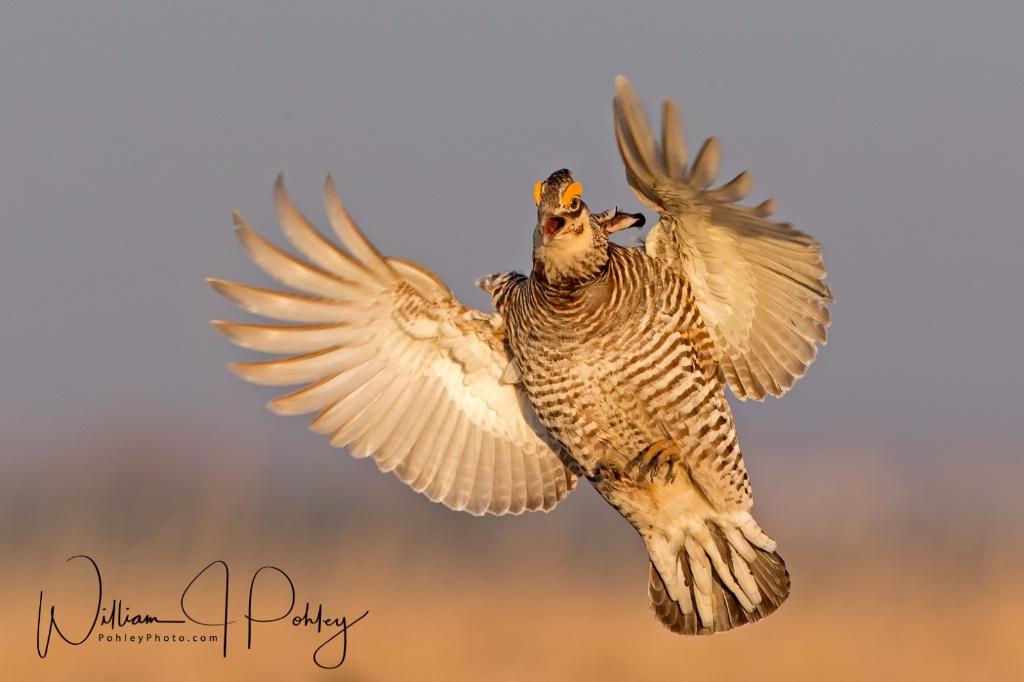 Greater Prairie Chicken landing BH2U5264 - ID: 15360566 © William J. Pohley