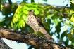 Juvenile gohawk