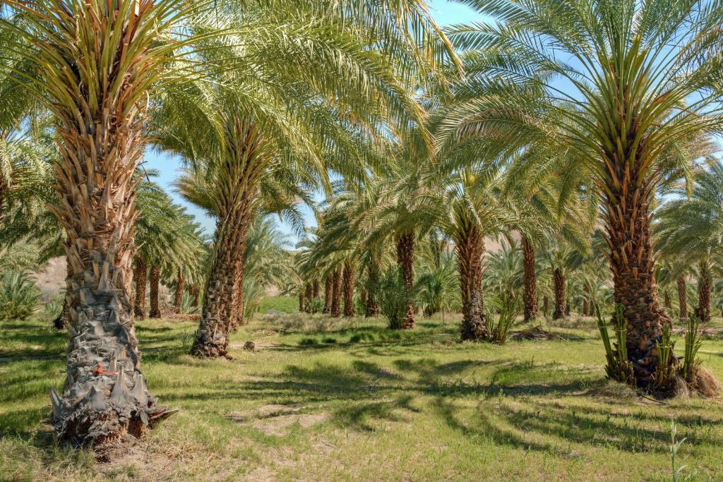 Date Palms - ID: 15365919 © Sheila Faryna