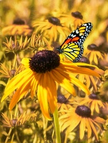 Brown Eyed Susans And The Monarch