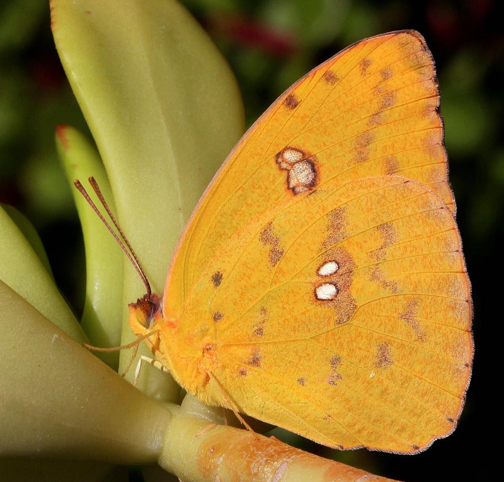 Sulfur Butterfly - ID: 15367648 © Lynnmarie Daley