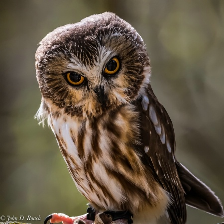 Dory - Northern Saw-whet Owl