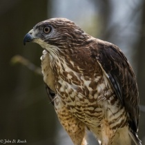 Nicco - Broad-winged Hawk