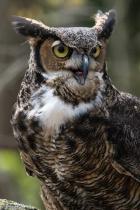 Tskili - Great Horned Owl