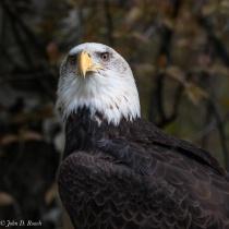 Valkyrie - Bald Eagle