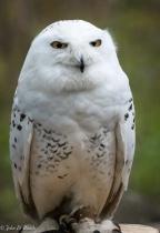 Wind Chill McCloud - Snowy Owl
