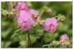 pink wild geraniu...