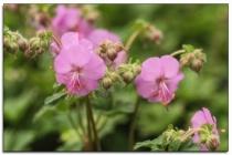 pink wild geraniums