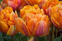 Parrot Tulips