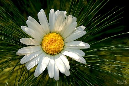 Flora  Fir