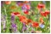 poppies - impasto