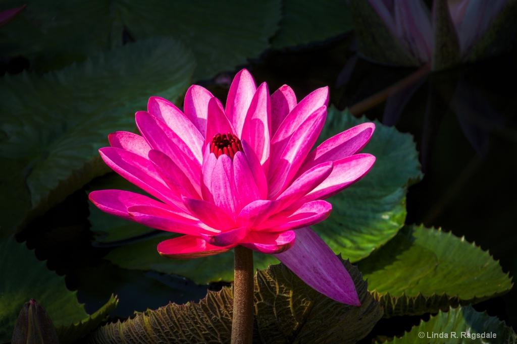 Pretty in Pink - ID: 15370437 © Linda R. Ragsdale