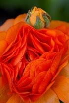 Orange Flower & Bud