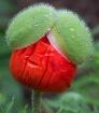 Poppy Hairdo