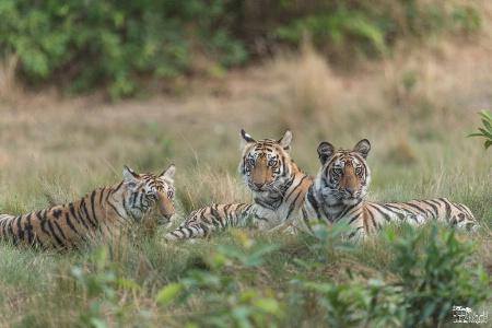Siblings ( 3 cubs of Spotty)