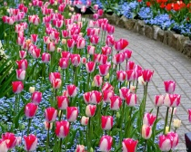 Walkway through the Tulips.