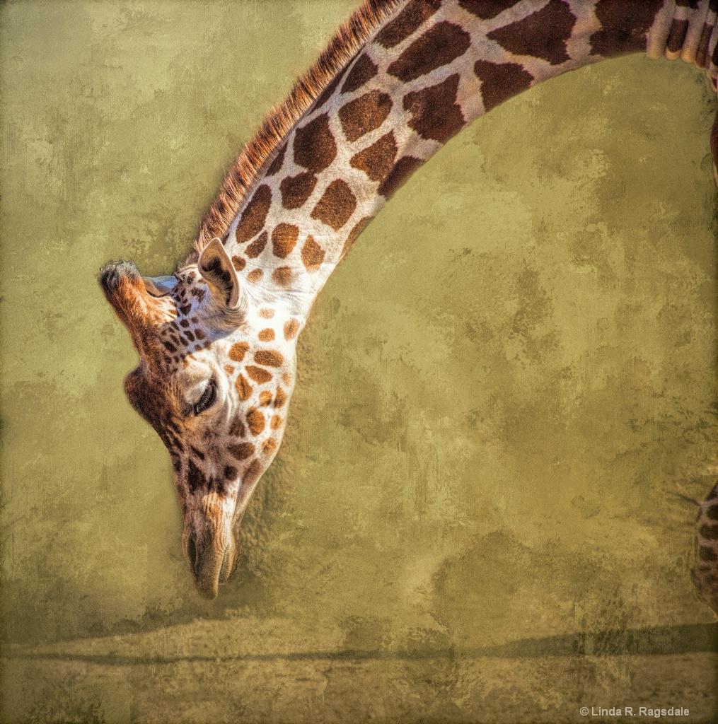 Giraffe - ID: 15373796 © Linda R. Ragsdale