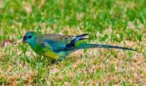 A Turquoise Parrot (Neophema pulchella)